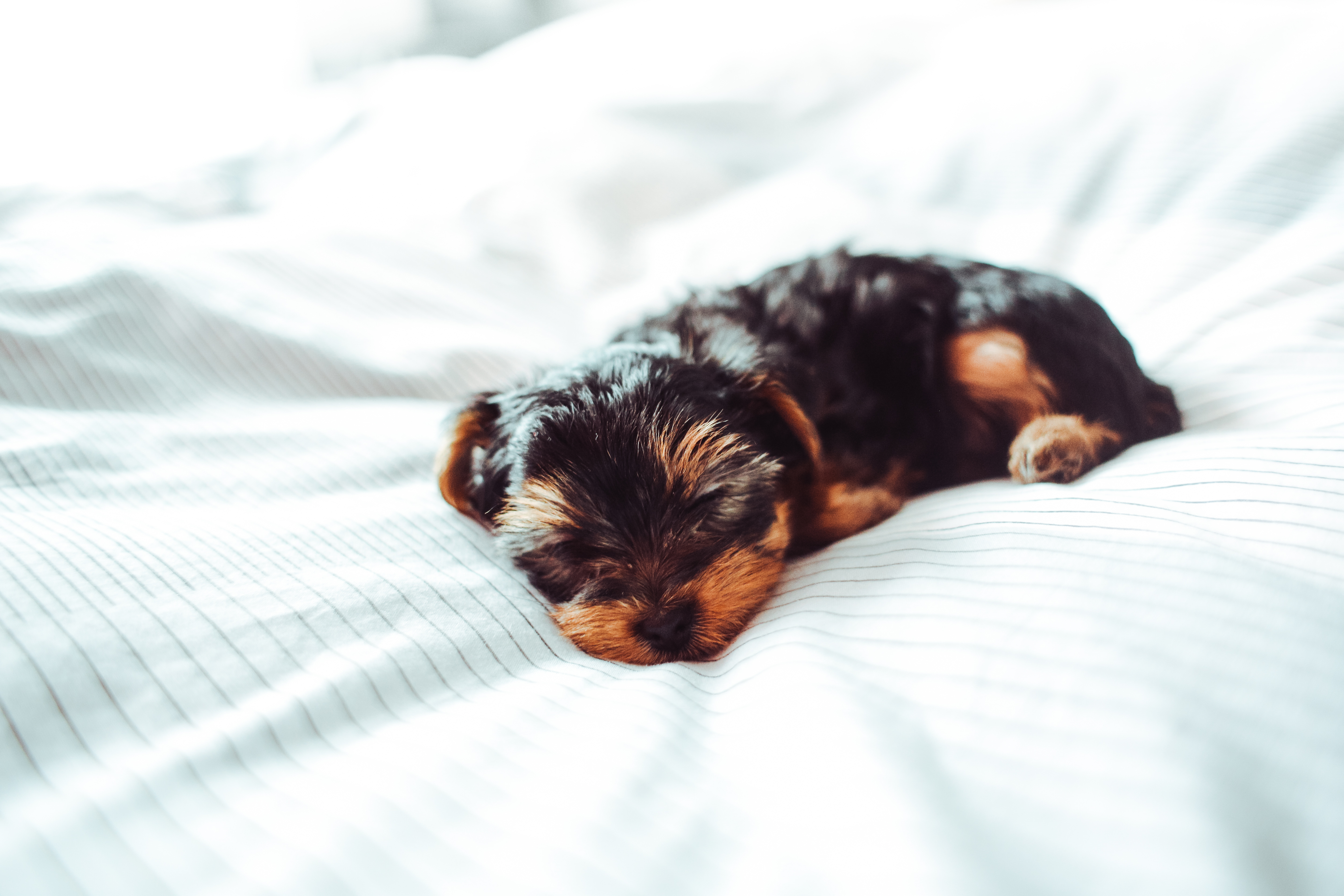 adorable-sleeping-yorkshire-terrier-puppy-picjumbo-com.jpg