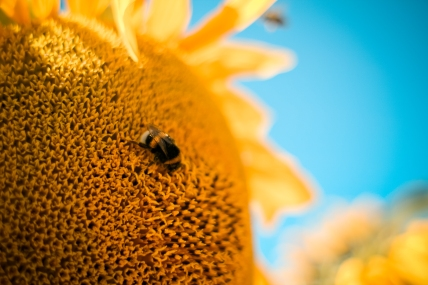 bumble-bee-on-the-sunflower-picjumbo-com.jpg